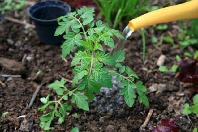 Настои и отвары применяют и на пораженных растениях, и для предупреждения фитофторы после посадки томатов в почву