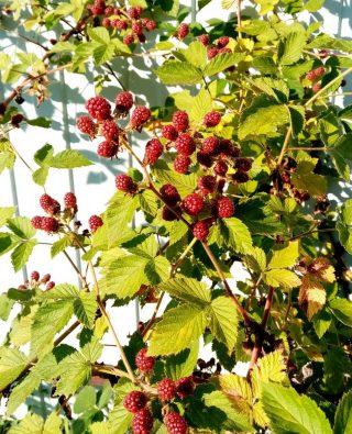 Ежевика в августе закончит плодоношение