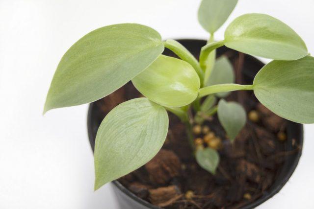Укоренять можно и верхушечные, и стеблевые черенки филодендрона