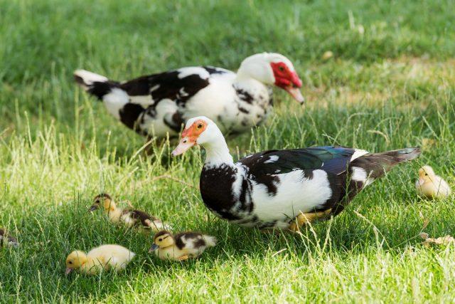 Индоутки — тихие птицы со спокойным характером