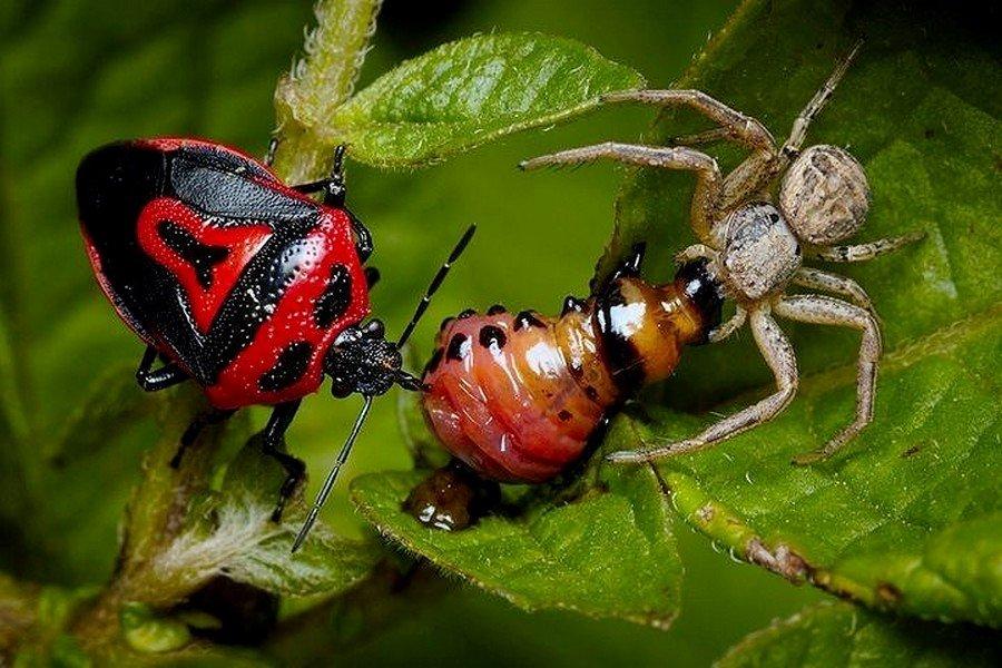 Паук и клоп против личинки колорадского жука