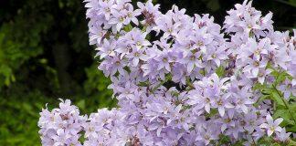 Колокольчик молочноцветковый — трогательный многолетник для малоуходного сада