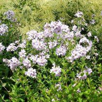 Колокольчик молочноцветковый «Лоддон Анна» (Loddon Anne)