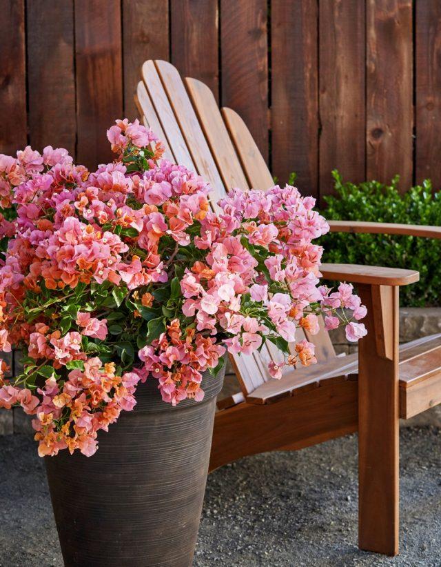Бугенвиллеи желательно выращивать с выноской на свежий воздух на лето
