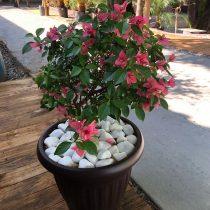 Бугенвиллея голая (Bougainvillea glabra)