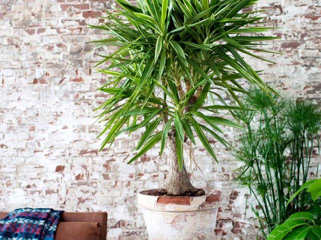 Комнатная юкка — менее капризная альтернатива пальмам