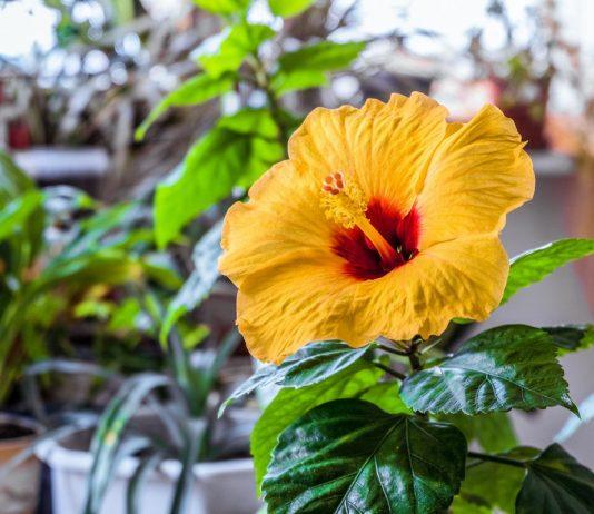 Комнатный гибискус, или Китайская роза — красочное цветение и простой уход