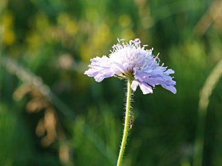 Цветок короставника полевого (Knautia arvensis)