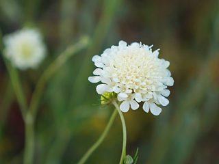 Иногда короставник можно спутать со скабиозой бледно-желтой (Scabiosa ochroleuca)
