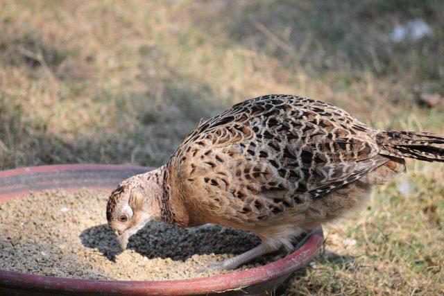 Взрослых куропаток кормят два раза в сутки — утром и днём