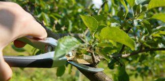 Летняя обрезка плодовых — нужна или нет?