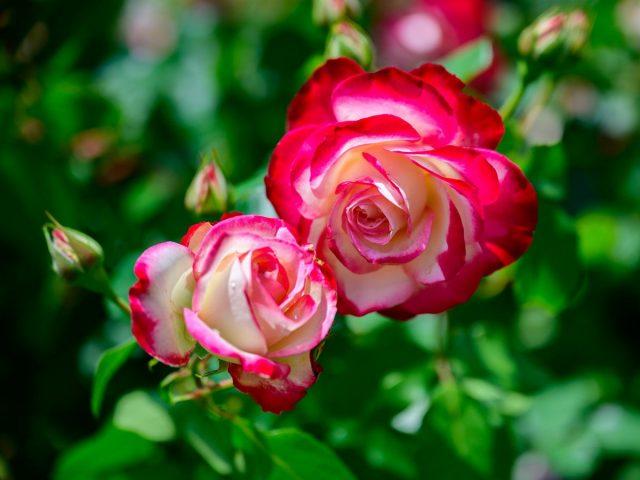 Мои двухцветные розы — на Дальнем Востоке и Кубани