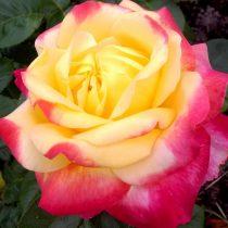 Роза «Пулман Ориент Экспресс» (Rosa 'Pullman Orient Express')