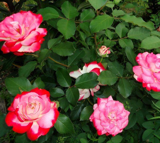 Роза «Жюбиле дю Прэнс де Монако» (Rosa 'Jubile du Prince de Monaco')