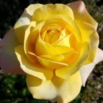 Роза «Глория Дэй» (Rosa 'Gloria Dei')