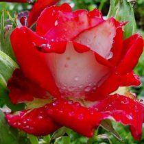 Роза«Альянс» (Rosa 'Alliance')