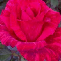 Роза «Рэд Интуишин» (Rosa 'RedIntuition')