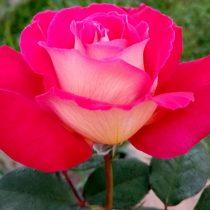 Роза «Большой театр» (Rosa 'Bolshoi')