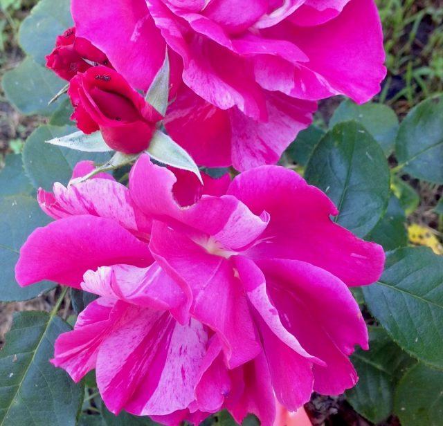 Роза «Ги Савой» (Rosa 'GuySavoy')