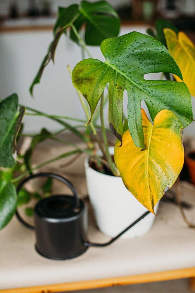 При слишком ярком освещении монстеры реагируют побледнением и пожелтением листвы