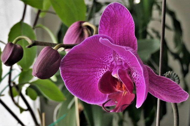 Сроки цветения фаленопсисов зависят от десятка факторов как в период между цветениями, так и во время предыдущего цветения