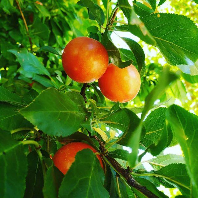 Плодоношение шарафуги начинается с конца августа и длится до середины сентября