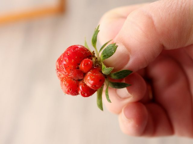 Мелкие корявые ягоды у земляники садовой могут быть последствием выращивания сорта через семена