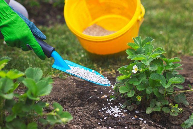 Формирование неполноценной ягоды земляники садовой провоцирует и дисбаланс в питании