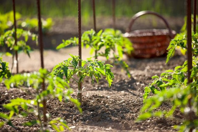 Почему мало завязи на томатах?