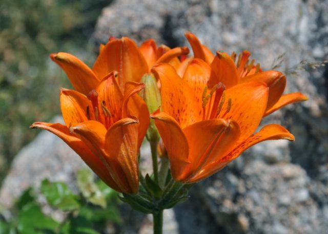 Лилия луковиценосная (lilium bulbiferum)
