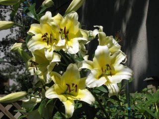ОТ-гибрид, лилия 'Conca d'Or'