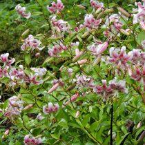 Восточный гибрид лилии (Lilium Oriental Hybrid)