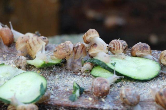 Улиток кормят, по большей части, растительными остатками