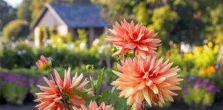 Секреты летнего ухода для яркого цветения георгин
