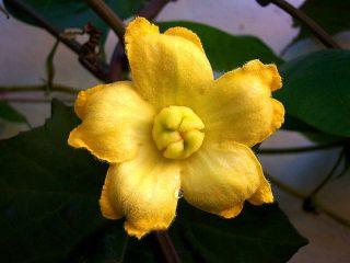 Цветет кассабанана желтыми или беловатыми цветками