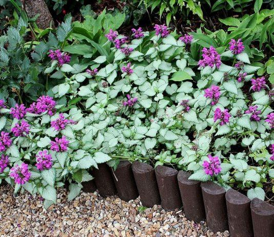 Яснотка — идеальный почвопокровник для теневого цветника