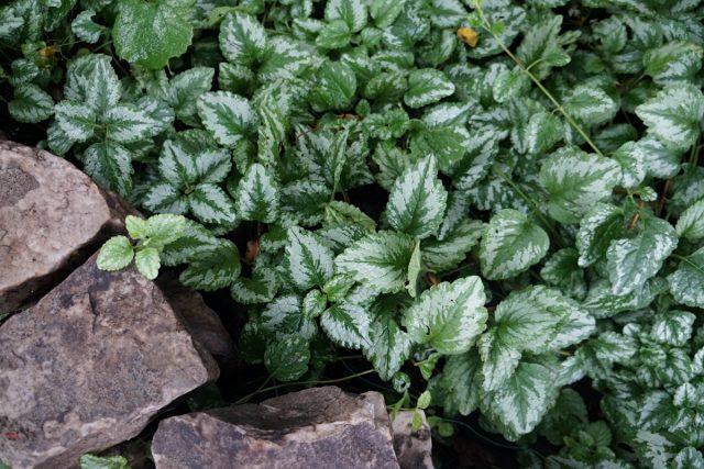 Яснотка желтая, или зеленчуковая (Lamium galeobdolon)