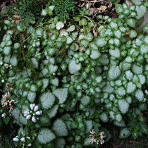 Яснотка крапчатая (Lamium maculatum), сорт «Вайт Ненси» (White Nancy)