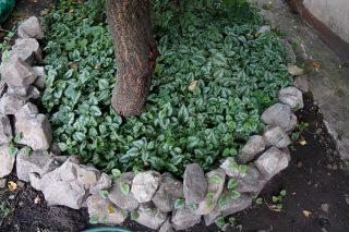 Яснотка идеальна для озеленения приствольных кругов и хорошо подавляет рост сорняков