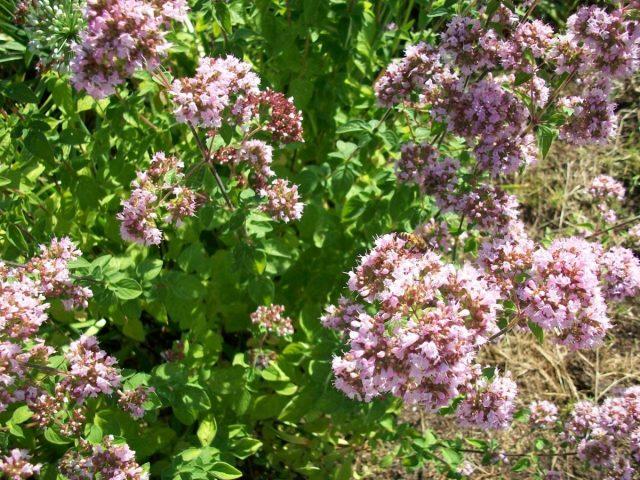 Пряные травы — палитра для гурманов. Часть 1