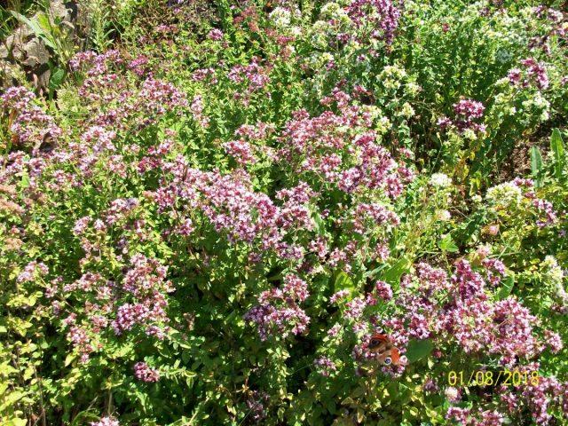 Пряные травы – палитра для гурманов. Часть 2