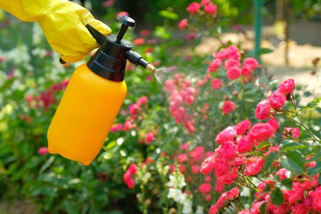 Уход за розами – системно и регулярно