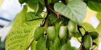 Актинидия коломикта — дальневосточная лиана с тропическими плодами
