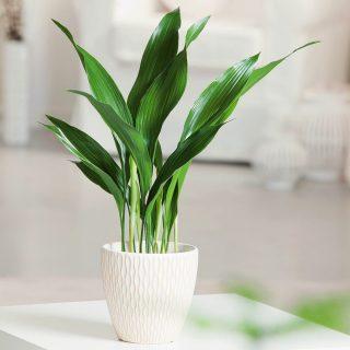 Аспидистра — одно из самых выносливых комнатных растений