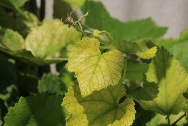 Эдафический хлороз винограда