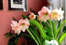 Гиппеаструм — классика среди комнатных луковичных растений