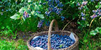 Голубика высокорослая — как надо и не надо выращивать