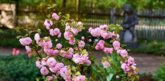 Какой миндаль можно выращивать в средней полосе?