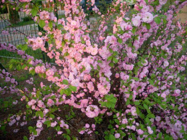 Миндаль трехлопастный (Prunus triloba)