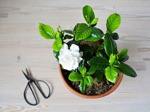 Комнатная гардения — ароматный кустарник с яркой внешностью